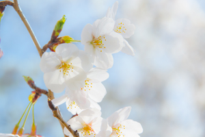 キレイな桜をながく楽しむ 春爛漫なミニちょうちん